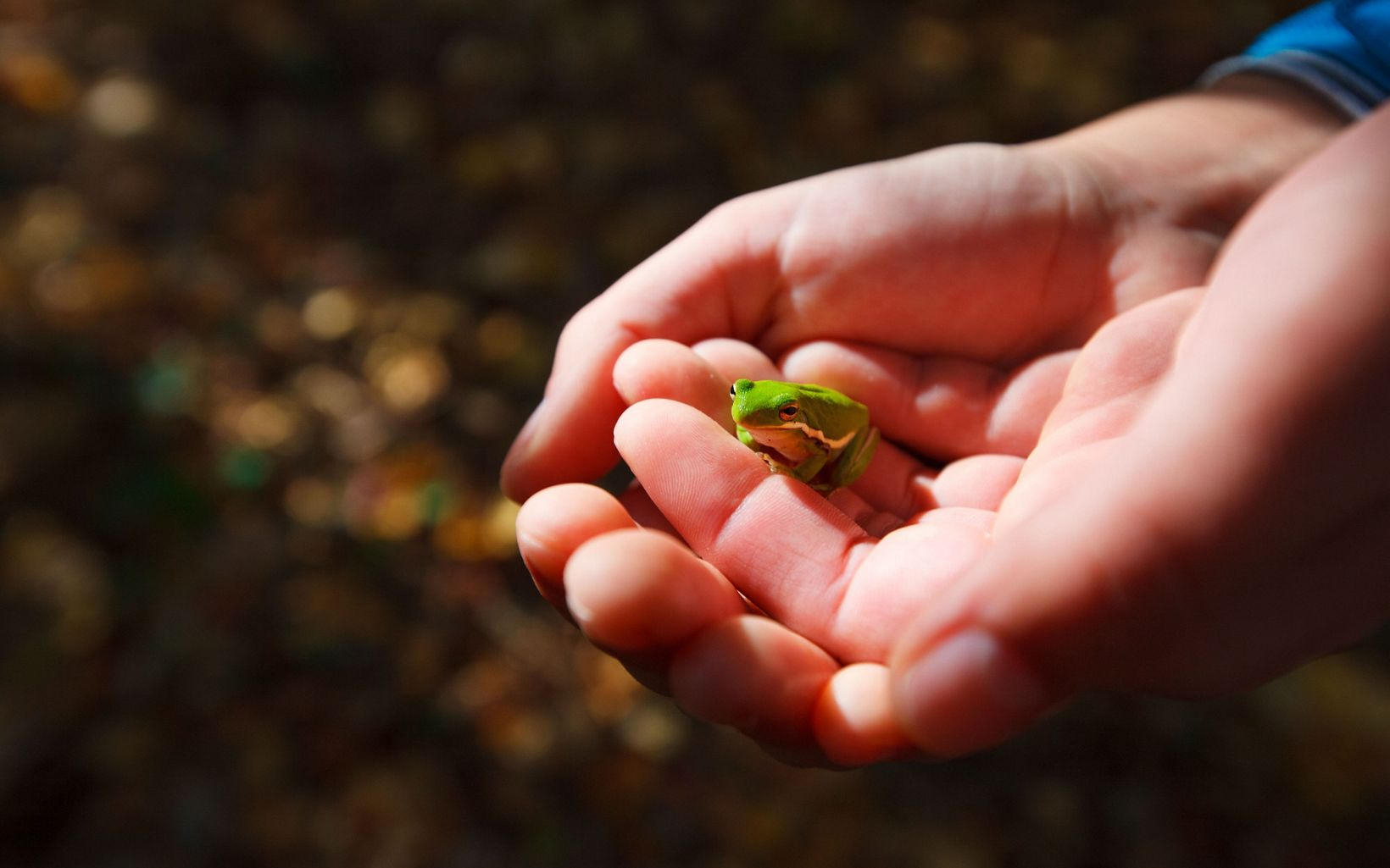 Closeup of hands holding a tiny green frog.