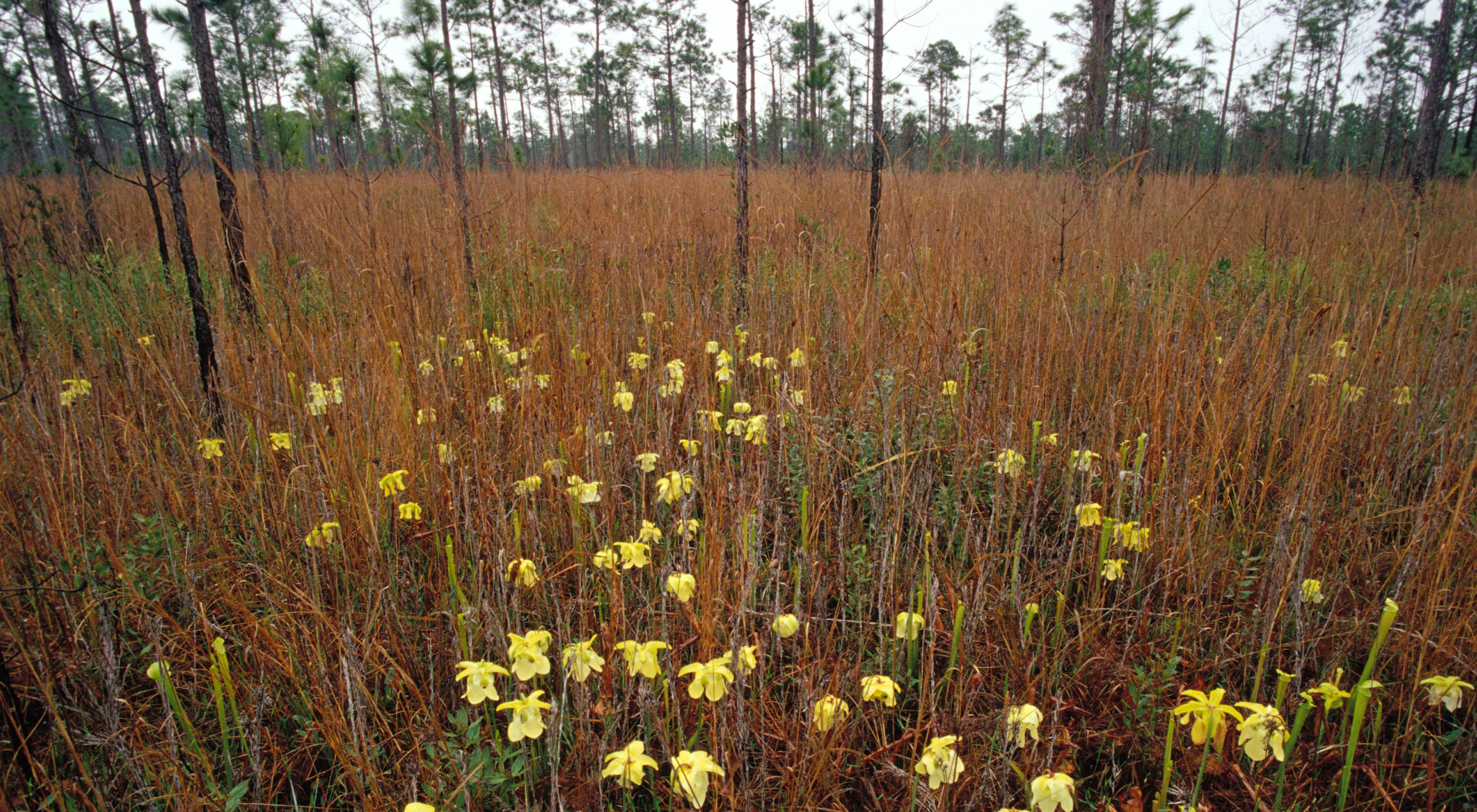 April 2002. Longleaf pine forest burned May 2001 with winged pitcher plant in foreground. Grand Bay Savanna in Mississippi/Alabama.