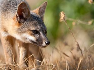 """(ALL INTERNAL RIGHTS, LIMITED EXTERNAL) July 2008. Island Fox, Santa Cruz Island, Channel Islands National Park, California. The island fox is an ICUN Red List endangered species, marked as """"critically endangered."""" Photo credit: © Ian Shive"""