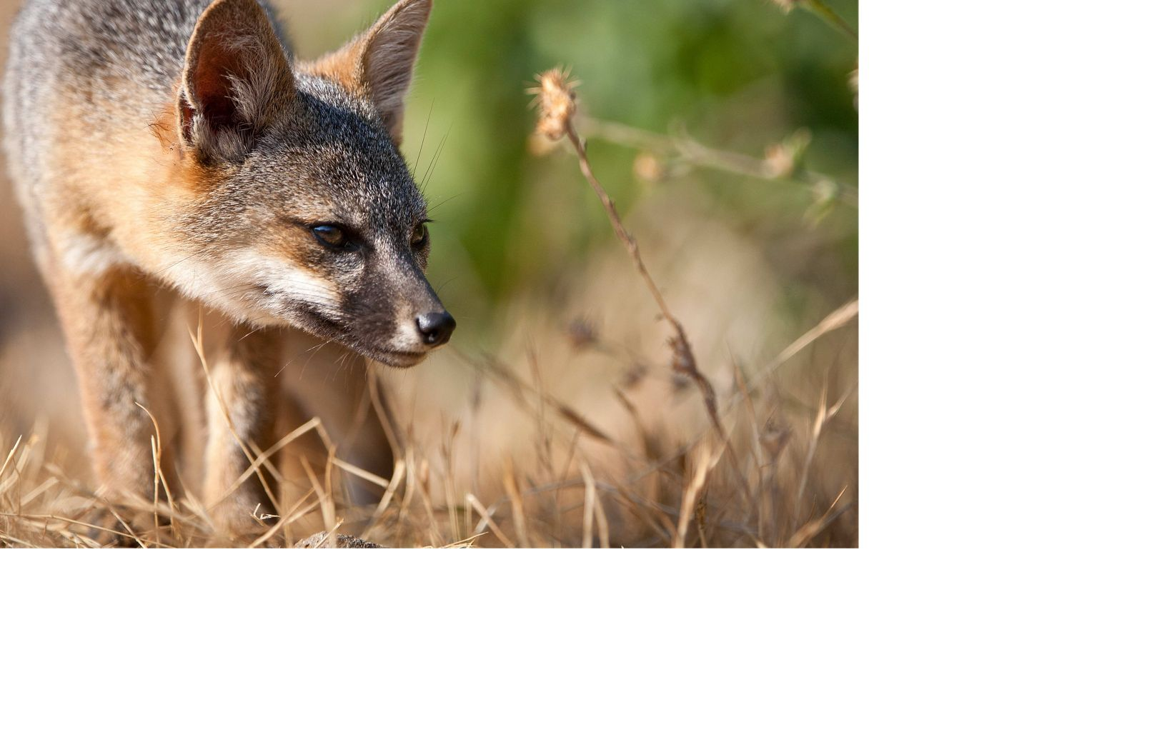Santa Cruz Island foxes faced bleak odds 16 years ago