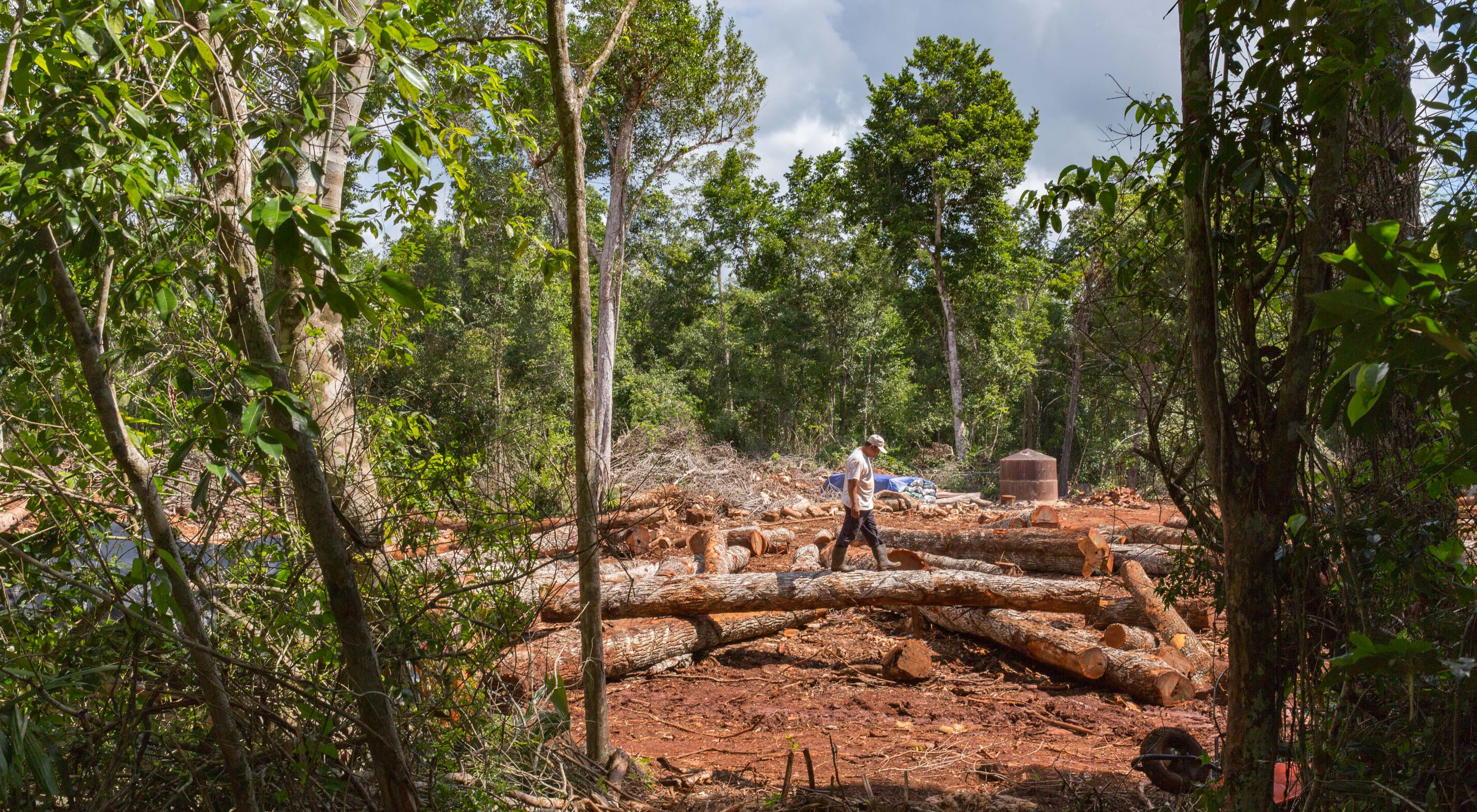 Manuel Reyes Estate walks the Chico Zapote logs waiting to be hauled off after being cut in the tropical rainforest of Noh Bec, Quintana Roo.
