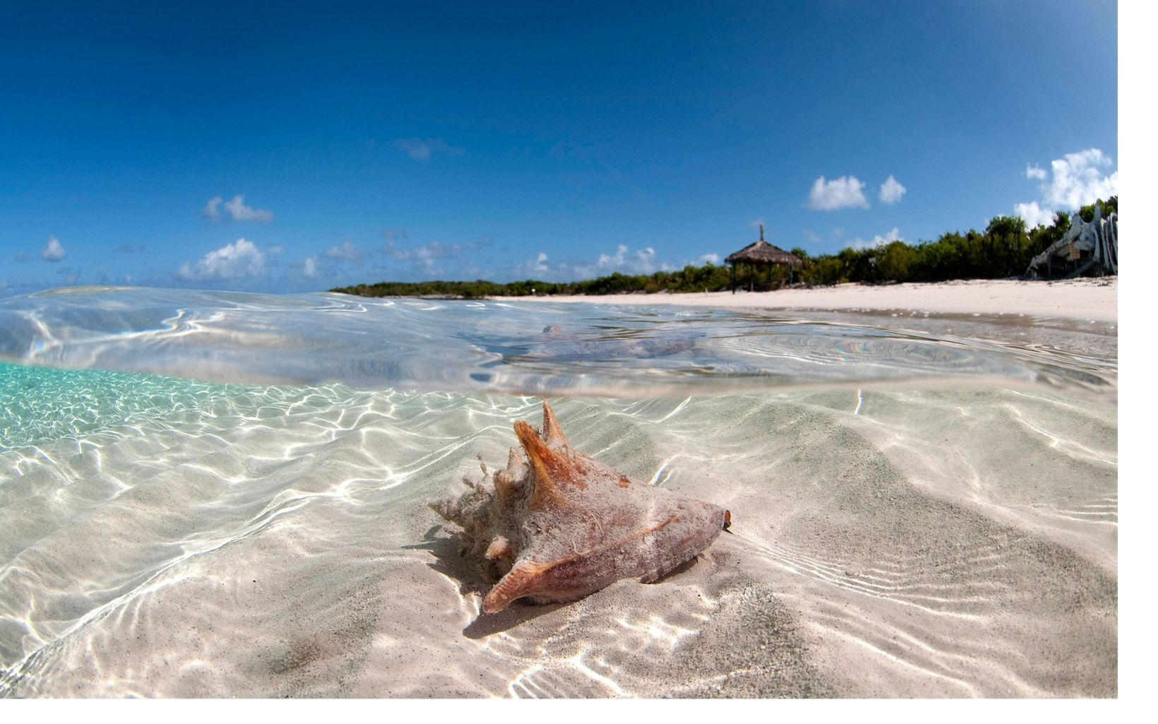 A conch rests in shallow waters of the Exuma Cays.