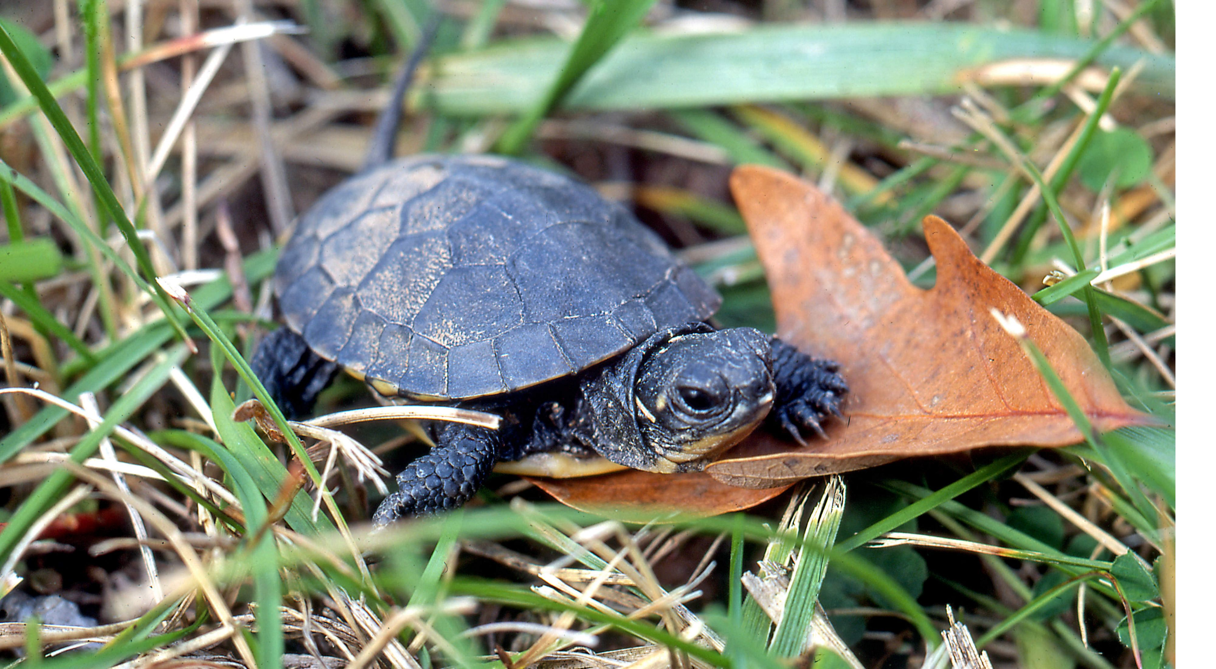a small dark turtle on leaf surrounded by green grass.