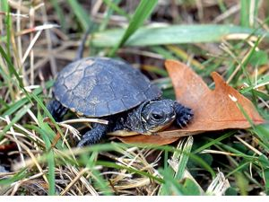small dark turtle on a brown leaf surrounded by grass.