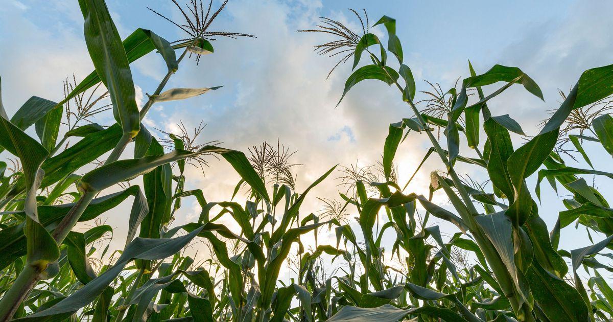 Green corn stalks growing upward toward pink and blue sky