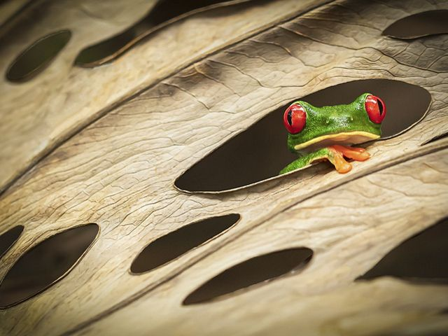 A red-eyed tree frog looks through the holes of a leaf in Costa Rica.