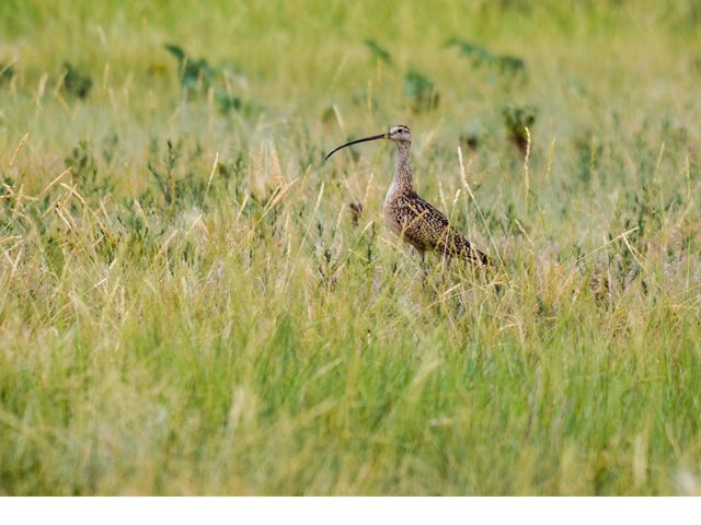 A speckled brown shorebird with a very long curved beak stands in tall grass.