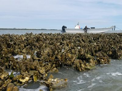 brown wall of oysters standing up from the water going back towards the horizon