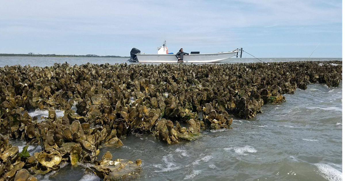 Monitoring oyster reefs from Virginia's Eastern Shore.