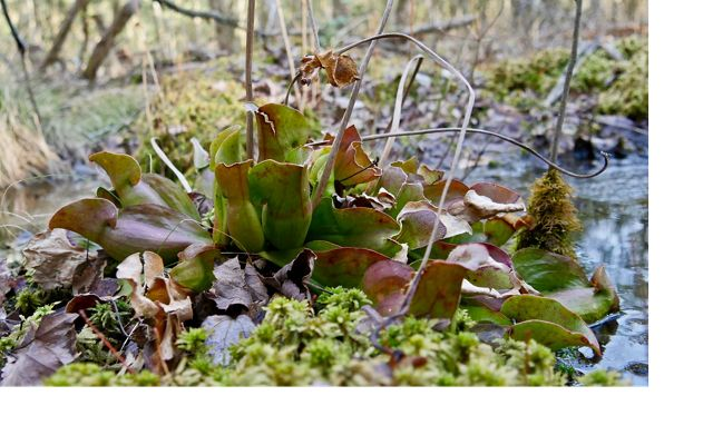 A clump of pitcher plants grow on the forest floor. The squat green tubes have a large opening to trap insects.