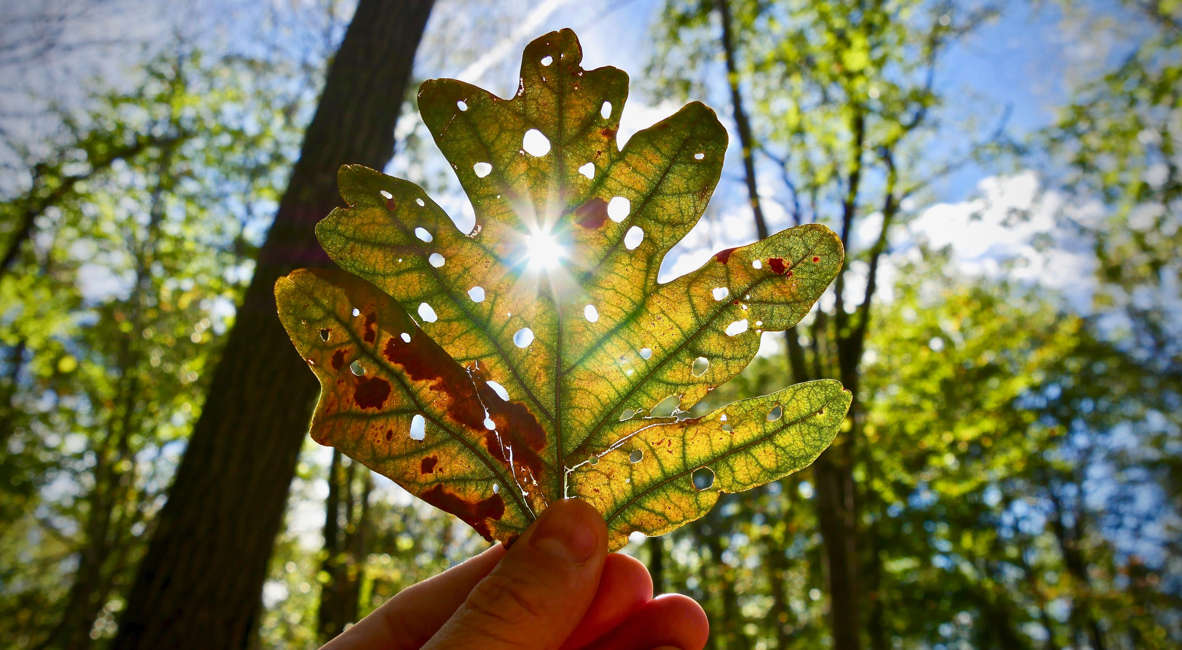 A hand holding up an oak leaf in front of the sun.