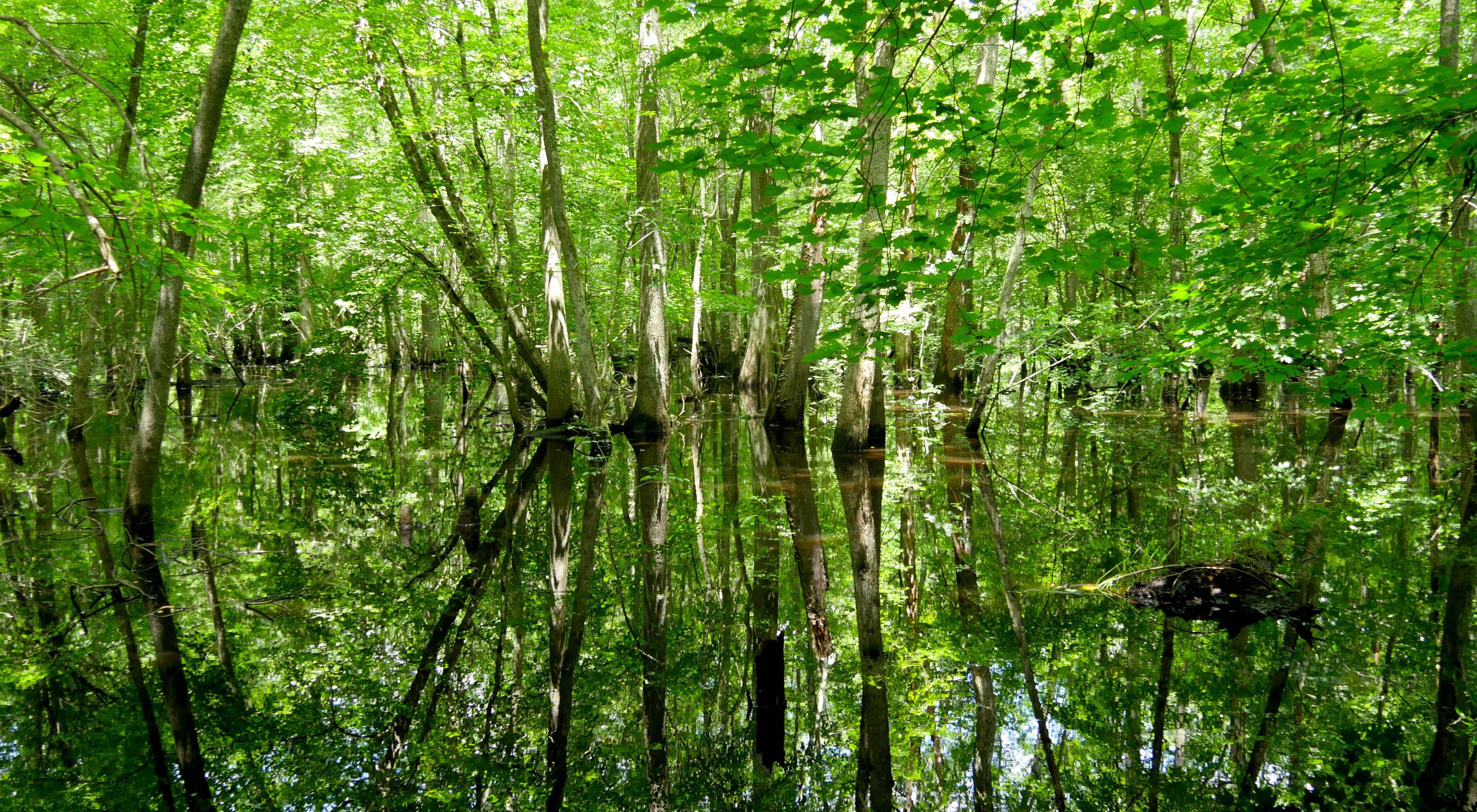 Cypress trees are reflected in the mirror still surface of a wide river that flows through a swamp section of the Pocomoke floodplain.