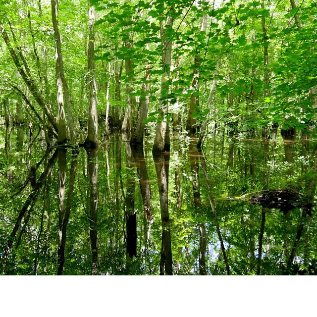 Pocomoke river swamp