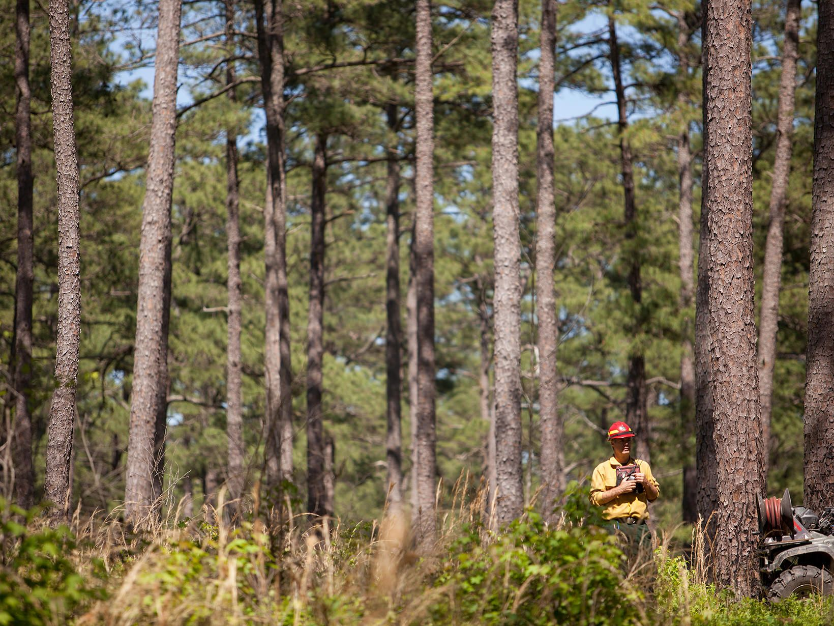 A man in a yellow shirt and red hard hat stands outside holding a walkie-talkie. He is dwarfed by the tall pine trees that rise around him.