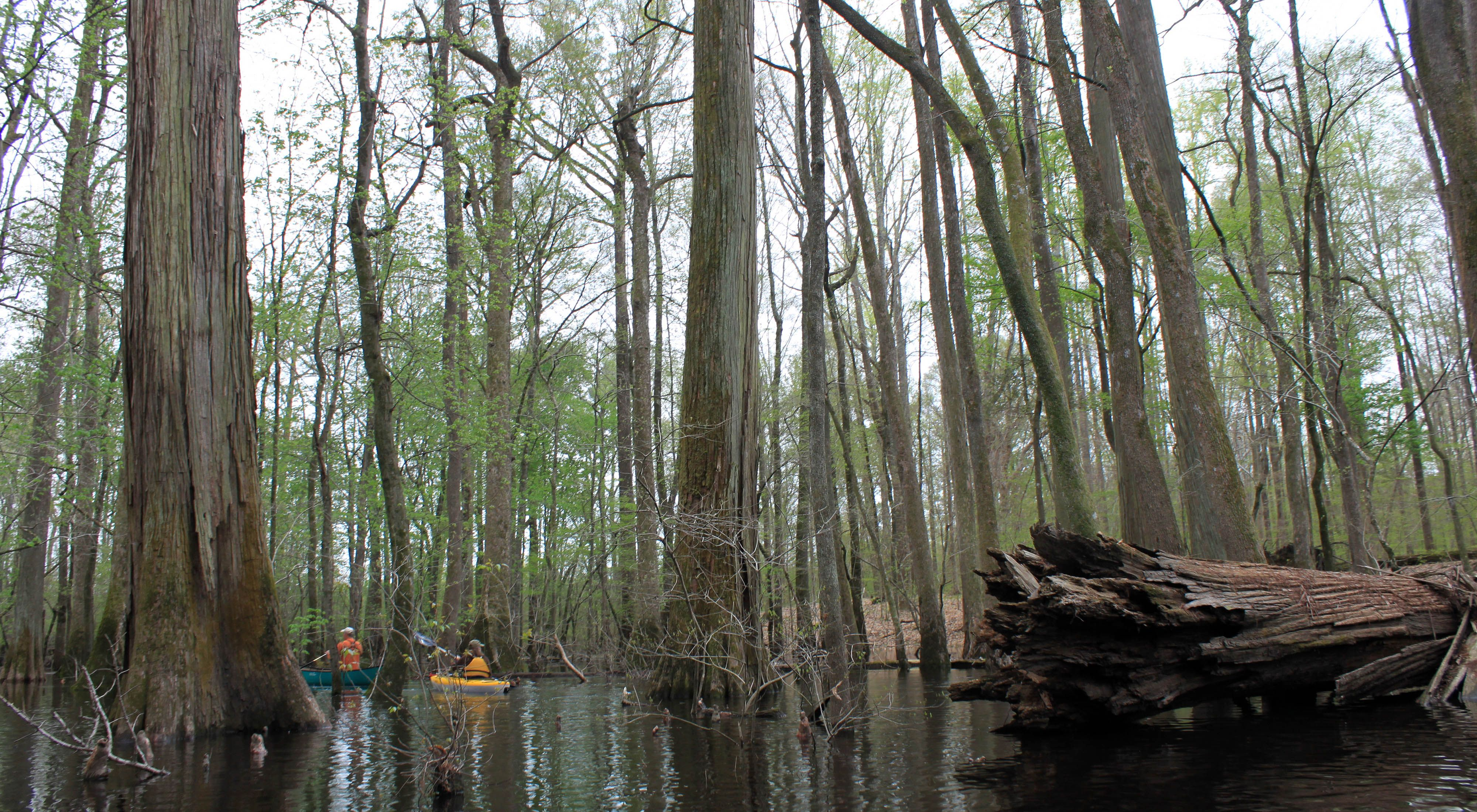 Canoeing through the cypress swamp.