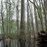 Kayaking in a bald cypress swamp