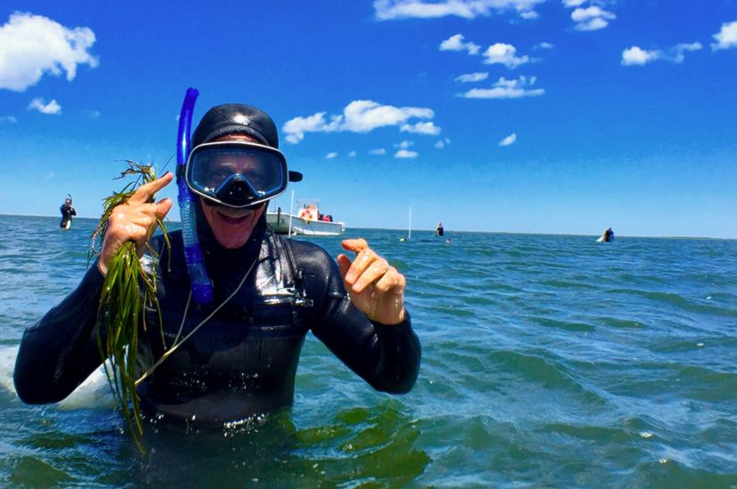 A man wearing a wetsuit and snorkel stands in waist deep water holding green strands of eelgrass.