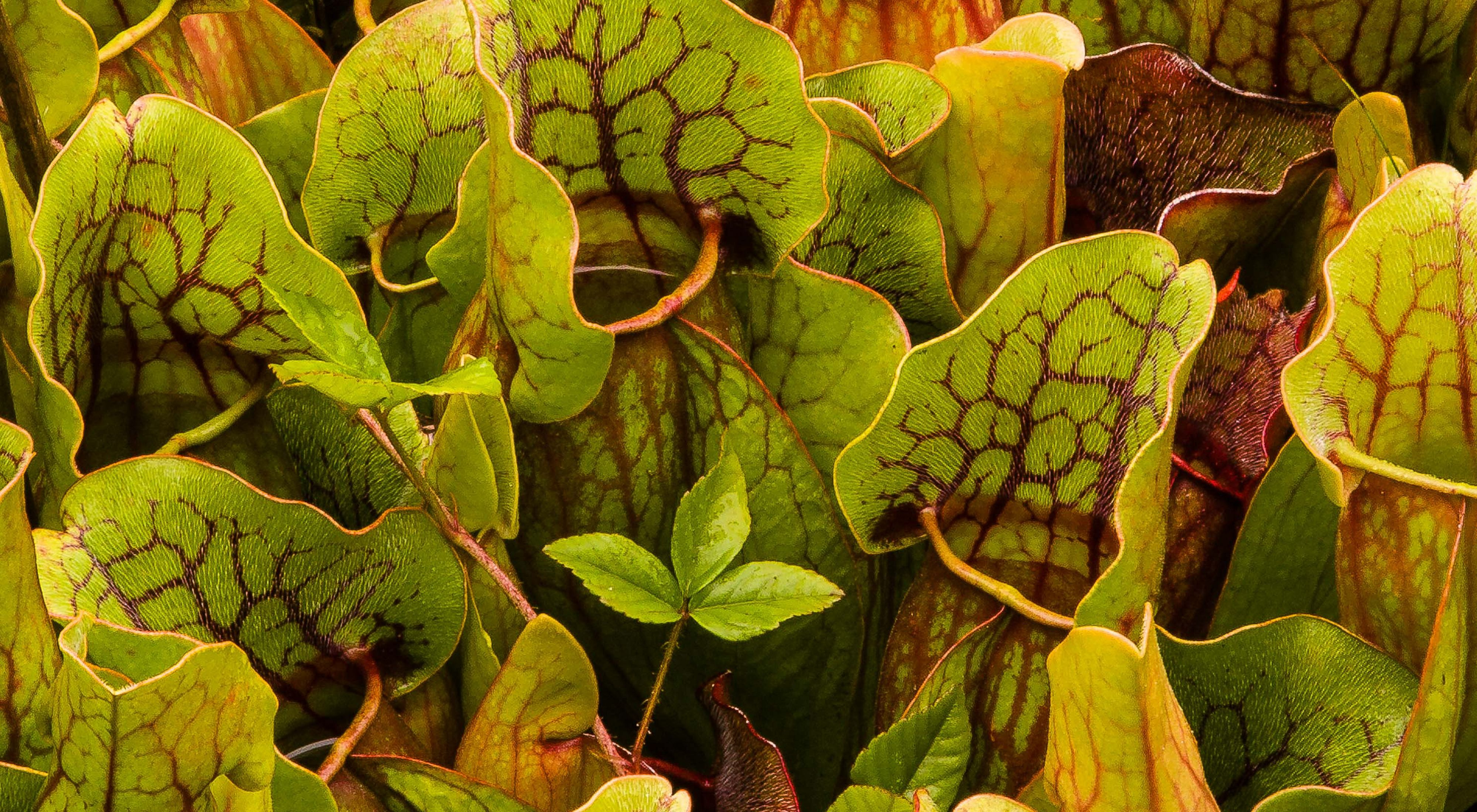 """A large patch of carnivorous pitcher plants. Tall green plants with red veined fronds lined with tiny hairs around an open """"mouth"""" filled with liquid."""
