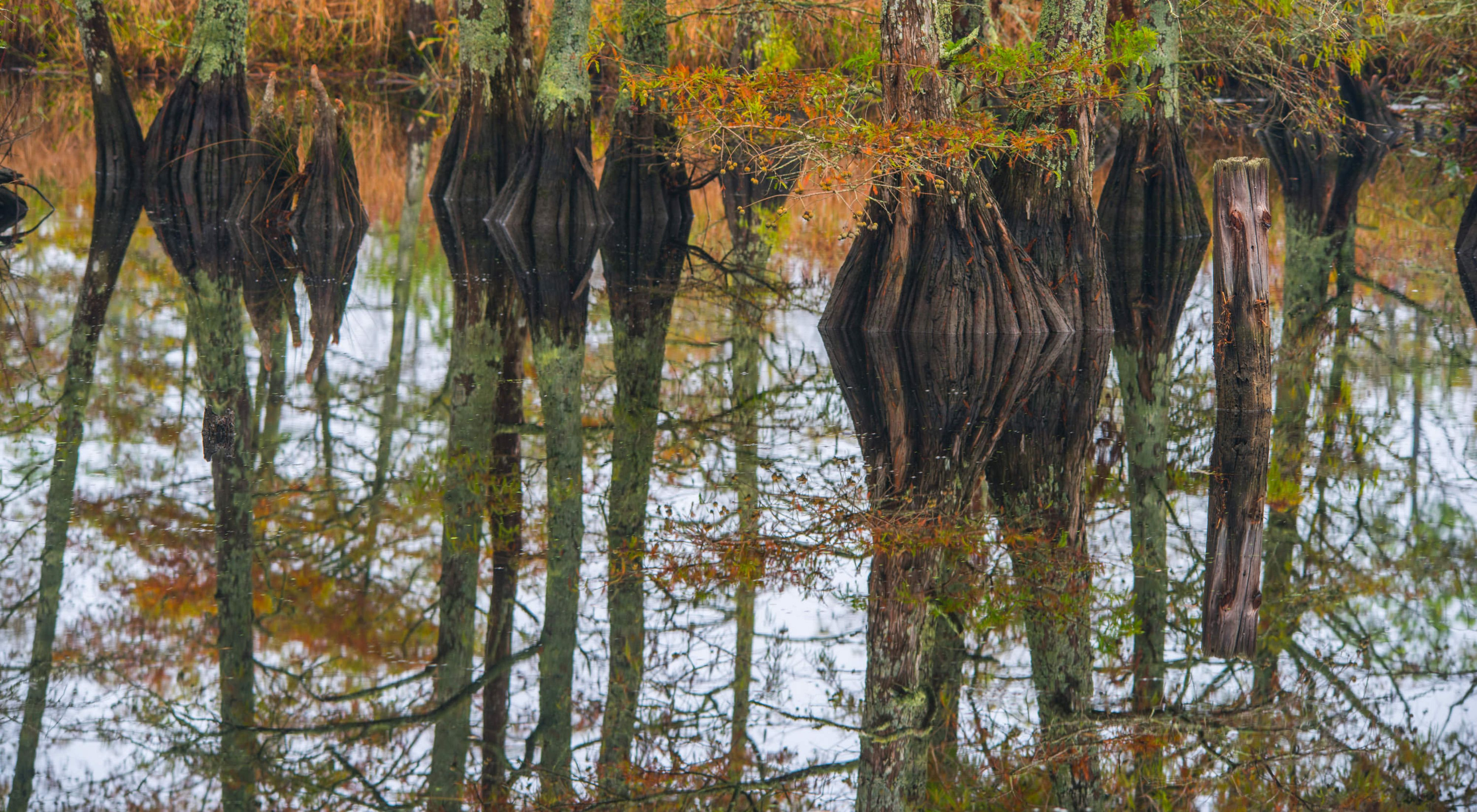 Cypress knees are reflected in the waters of North Landing River Preserve.