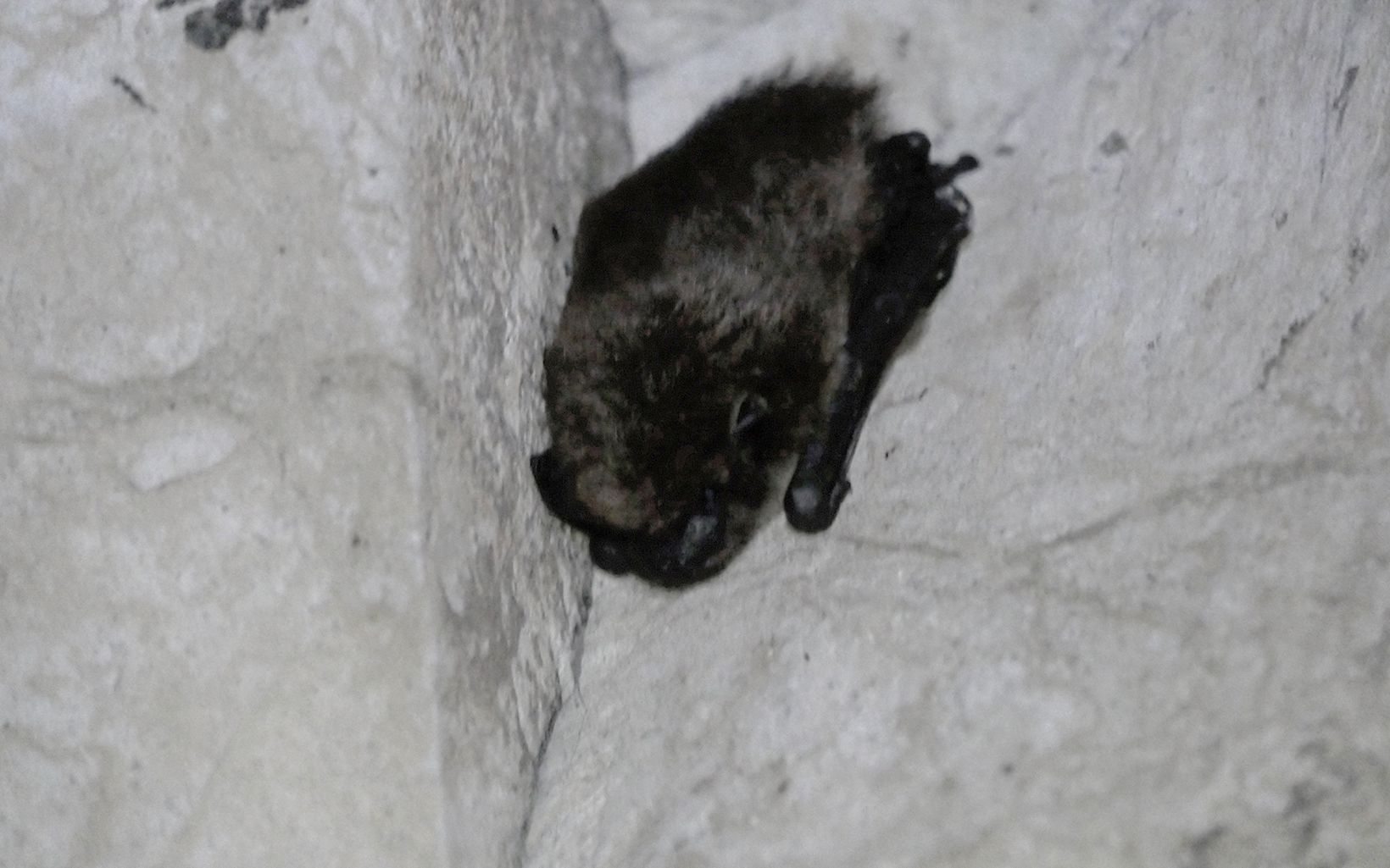 A hibernating tricolored bat (Perimyotis subflavus).