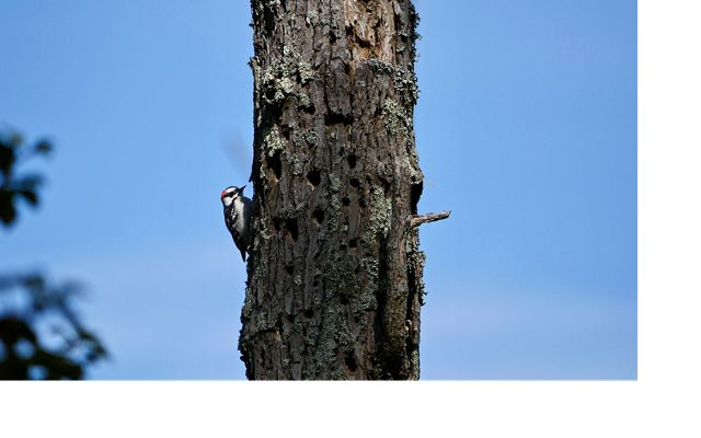 Downy woodpecker at MD's Robinson Neck Preserve. Located less than a mile from the open waters of the Chesapeake Bay, the preserve will eventually be lost to sea-level rise.
