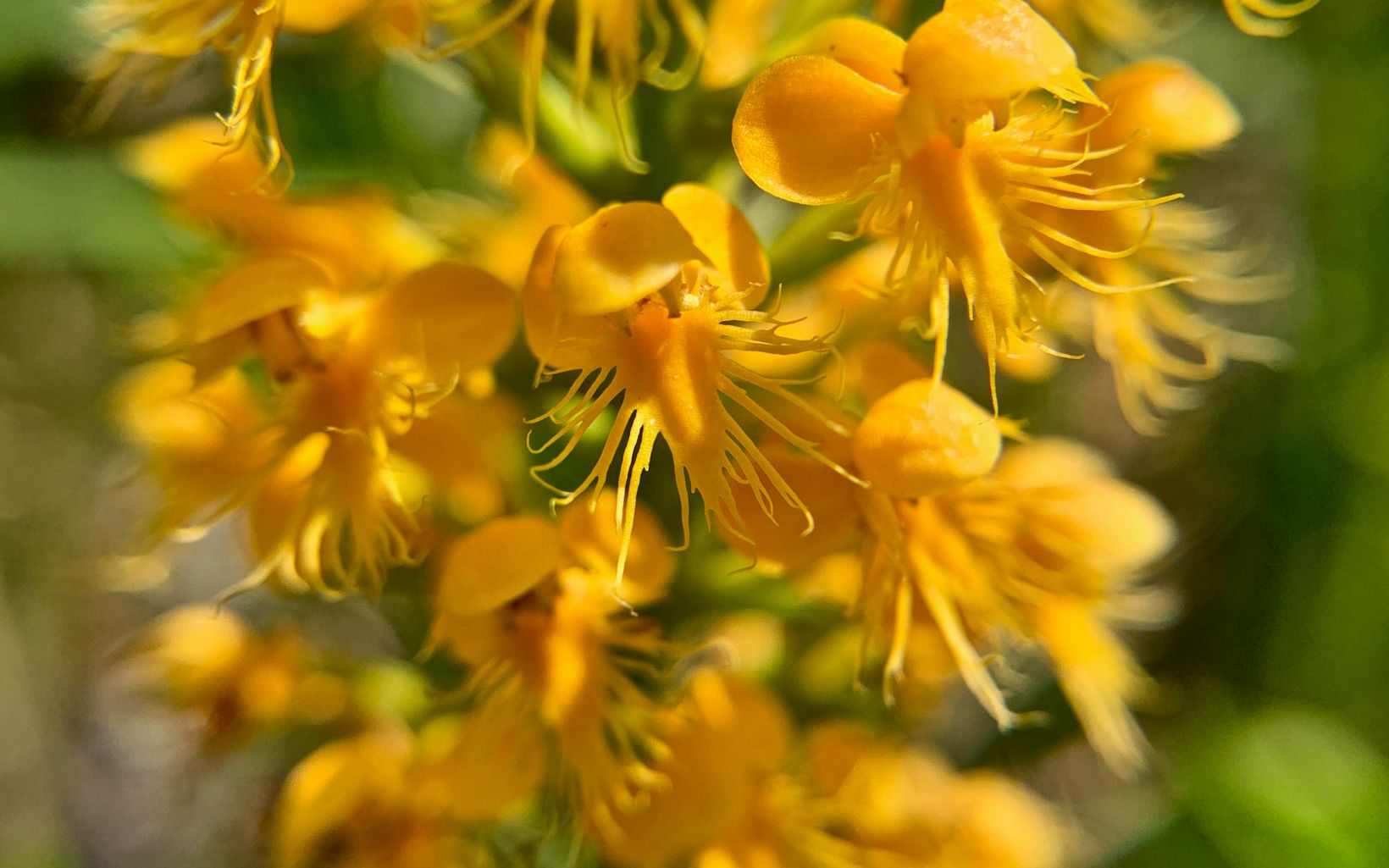 """Platanthera cristata has a rich yellow-orange hue and a short """"tongue"""" with tassles spreading out below."""