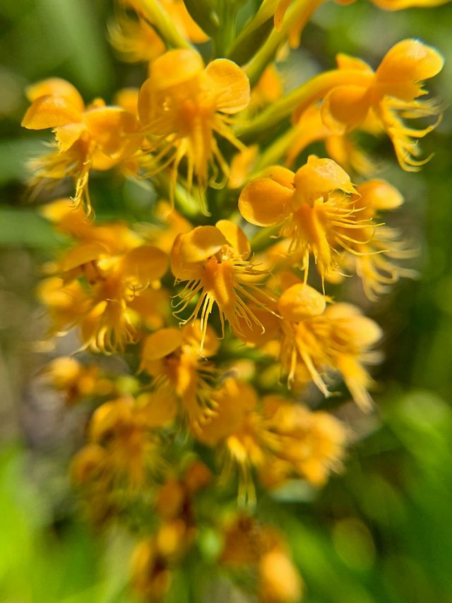 "Platanthera cristata has a rich yellow-orange hue and a short ""tongue"" with tassles spreading out below."