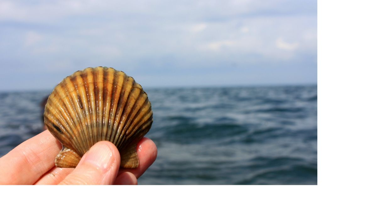 Virginia supported the most productive bay scallop fishery in the United States in 1930, but the scallops disappeared along with the seagrass meadows.