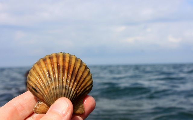 Close up view of a scallop shell held up by a hand, with the Atlantic ocean in the background.