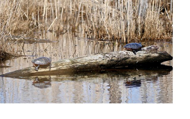 Turtles basking in the sun on Maryland's Robinson Neck Preserve.