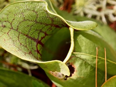 Close up view of the mouth of a pitcher plant showing the tiny white hairs that line the plant's mouth and help trap insects.