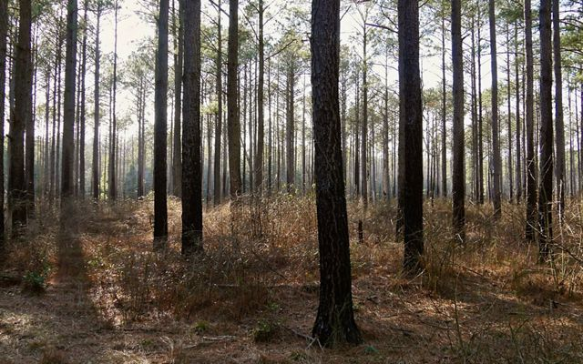 Remnants of a loblolly pine plantation. Tall, mature trees are evenly spaced with short, scrubby vegetation growing on the forest floor.