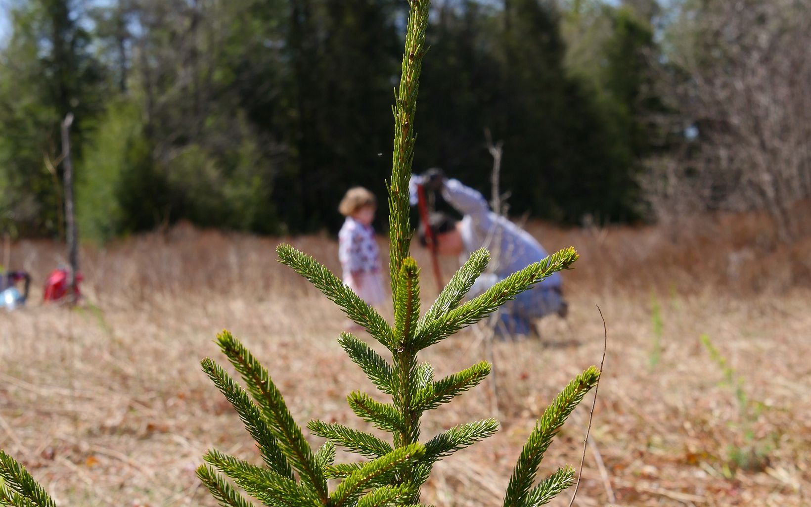 Close up view of the top of a red spruce seedling. In the background, a man kneels on the ground tamping in the dirt around a freshly planted red spruce seedling. A young girl stands next to him.