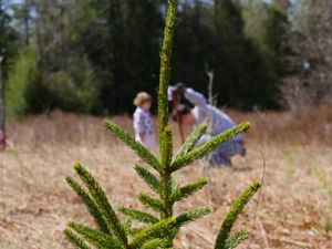 Over the past 22 years, volunteers have planted more than 62,000 red spruce trees in the forests of western Maryland.