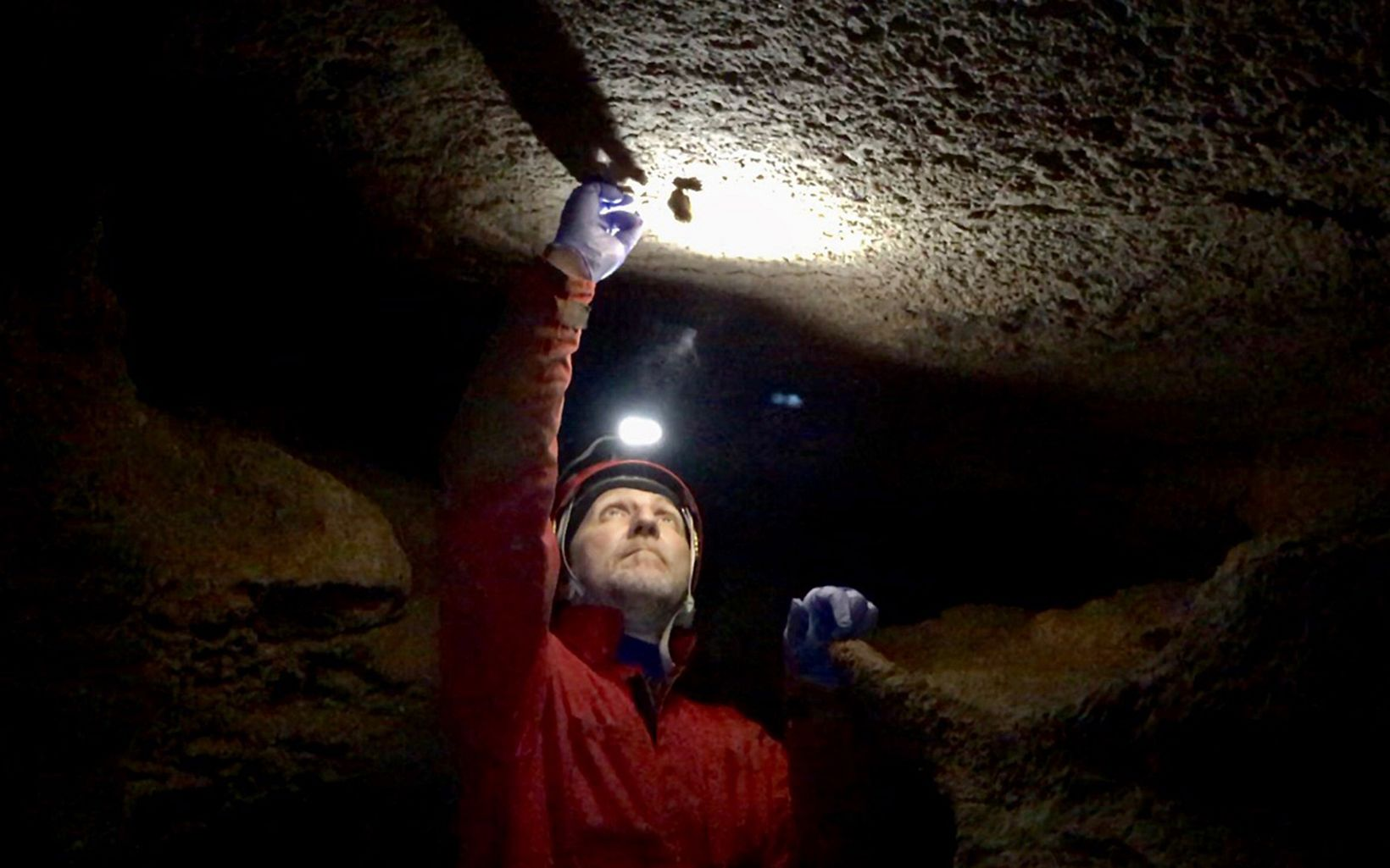 Dan Feller swabs a hibernating tricolored bat to test for white-nose syndrome.