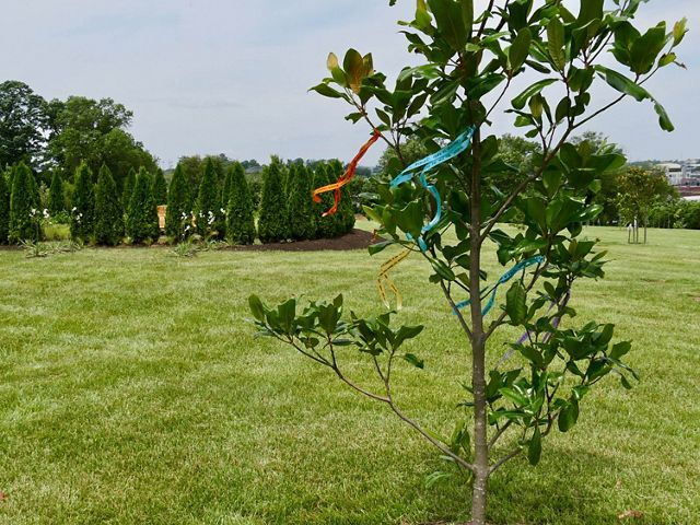 A newly planted tree sapling is in the foreground. A circular planting of evergreens is in the background. A wide green lawn separates the two stands of trees.