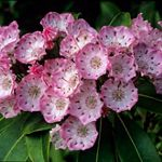 Close up view of mountain laurel in bloom. A cluster of small bowl shaped blossoms with white interiors that bloom into a deep shade of pink at the edges.