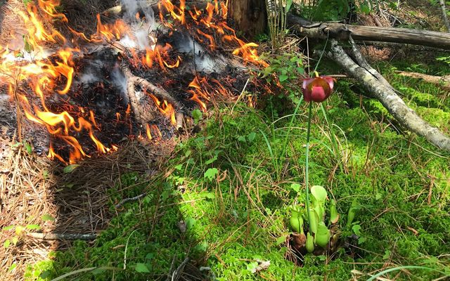 A low fire consumes pine needles as it moves towards the thick green moss protecting a purple pitcher plant.