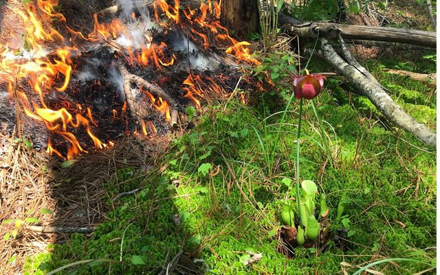 Fire from a controlled burn slowly moves towards a purple pitcher plant at Maryland's Nassawango Creek Preserve.