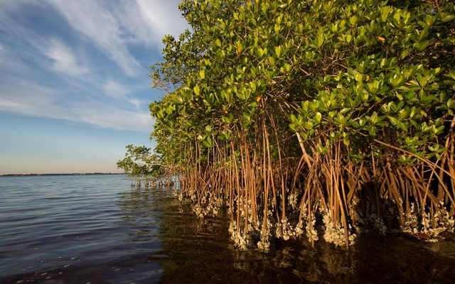 A group of mangroves with exposed roots sit in coastal waters