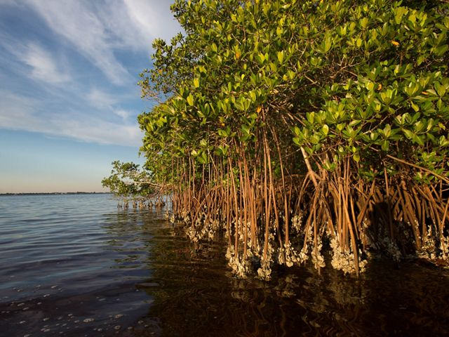 Oysters grow on the mangrove coastline of Charlotte Harbor Estuary, an area identified by TNC as a priority area in restoring the overall health of the Gulf.