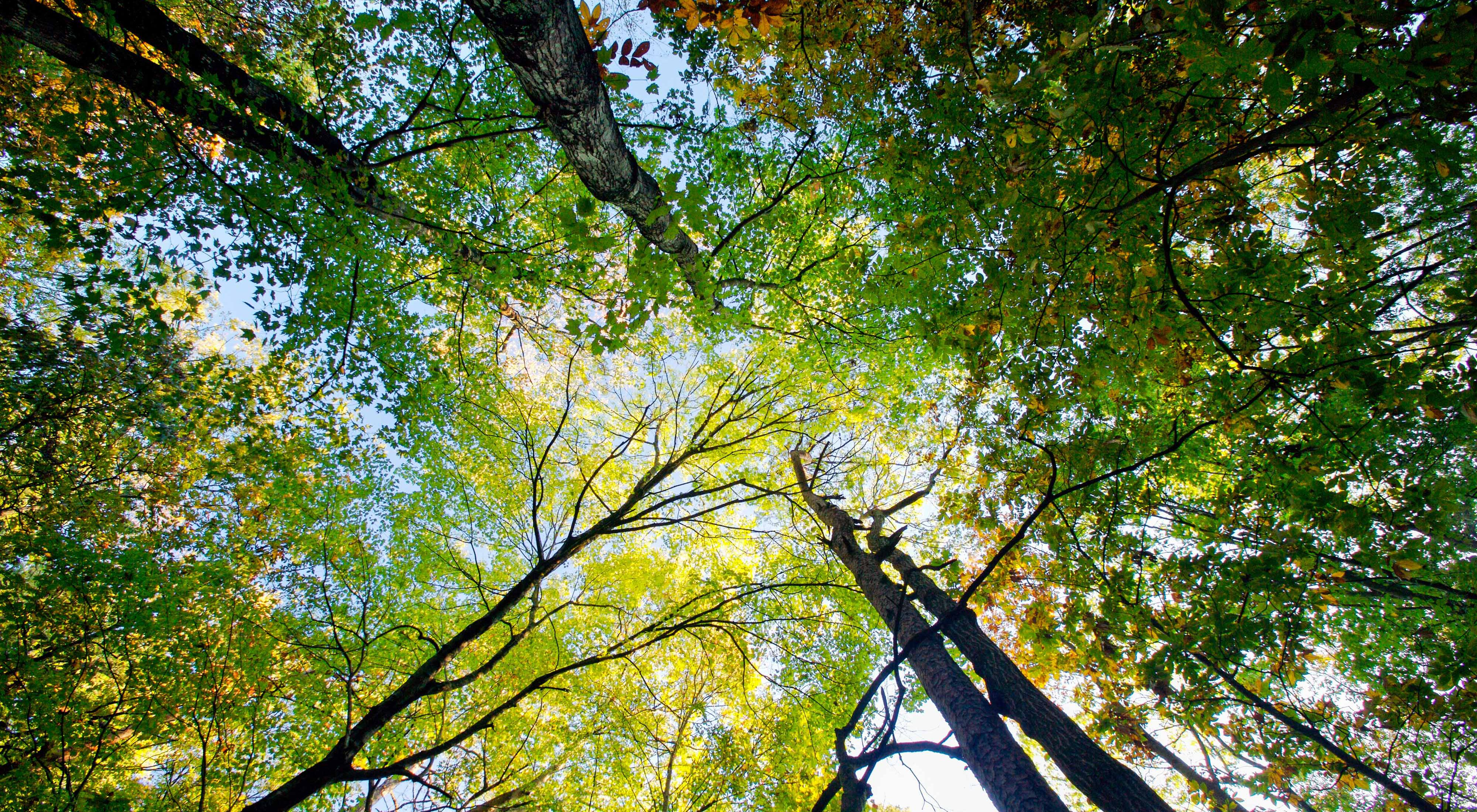 Looking upward into the canopy of southern old-growth forest in Marshall Forest Preserve, Rome, Georgia.