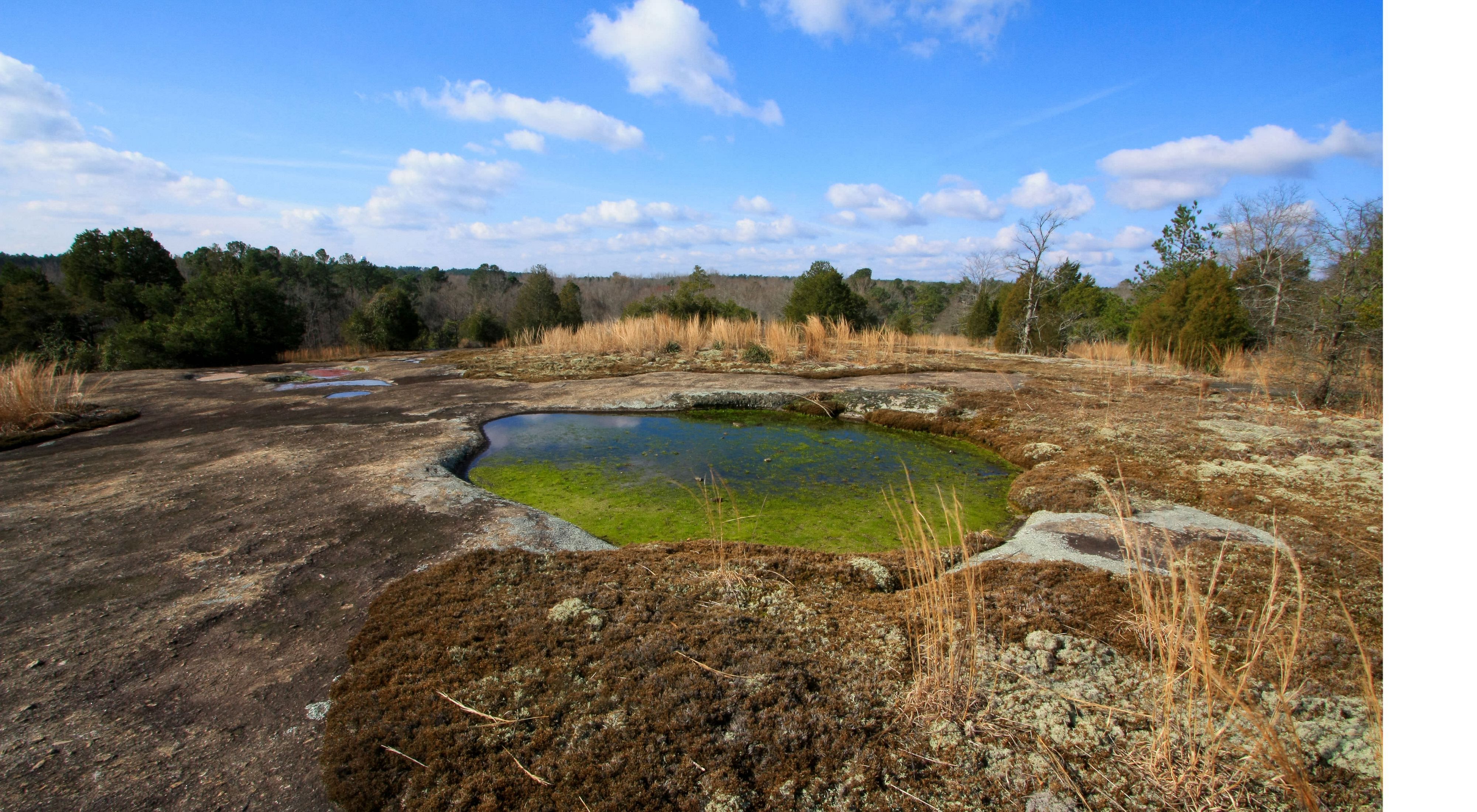 This is the Merlin's grass pool, surrounded by quillwort — a federally endangered plant endemic to GA and related to ferns.
