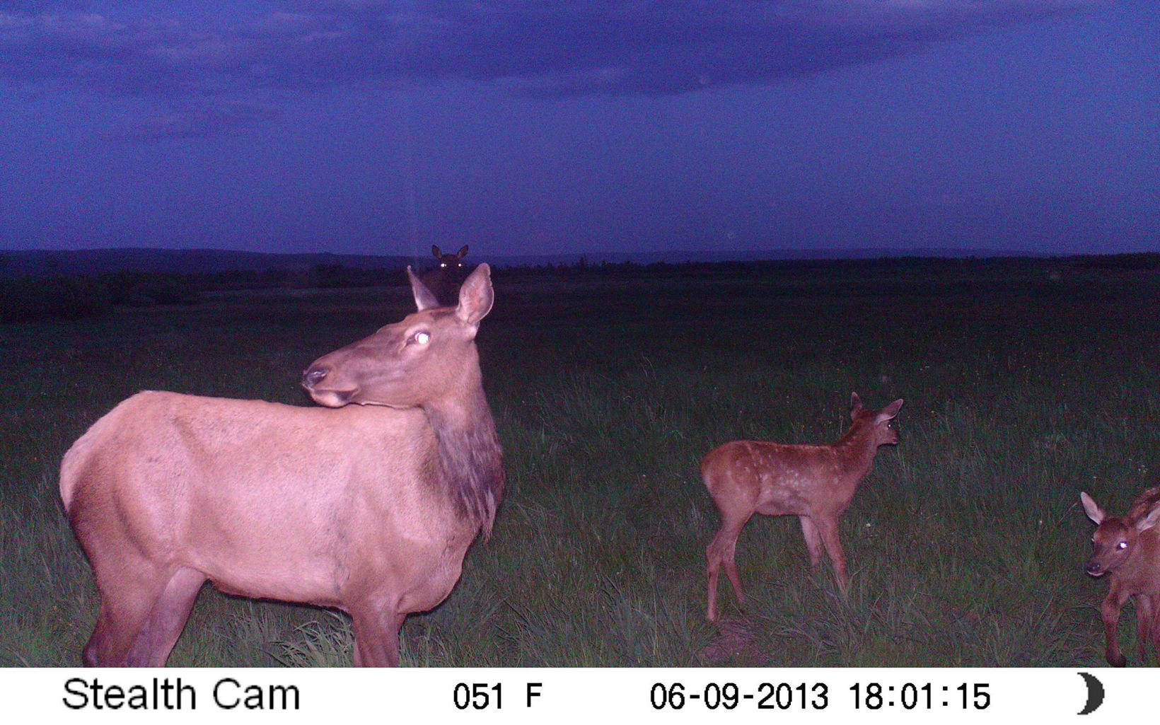 A camera trap photo of a mother and baby elk in semi-dark, with their eyes reflecting the flash.