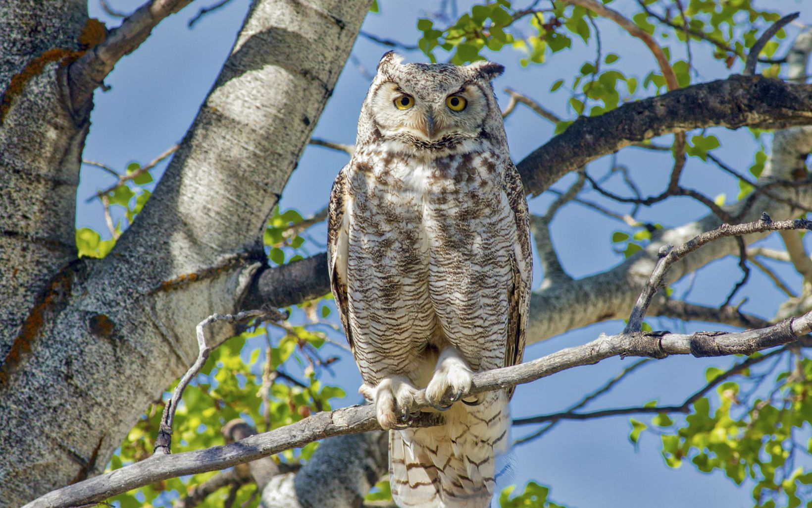 A large brown and white owl perched on a tree branch.