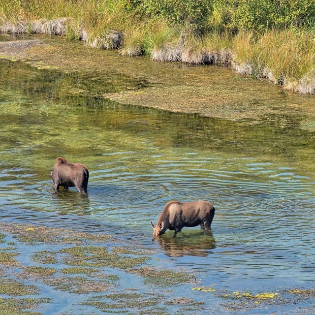 Three moose standing in stream