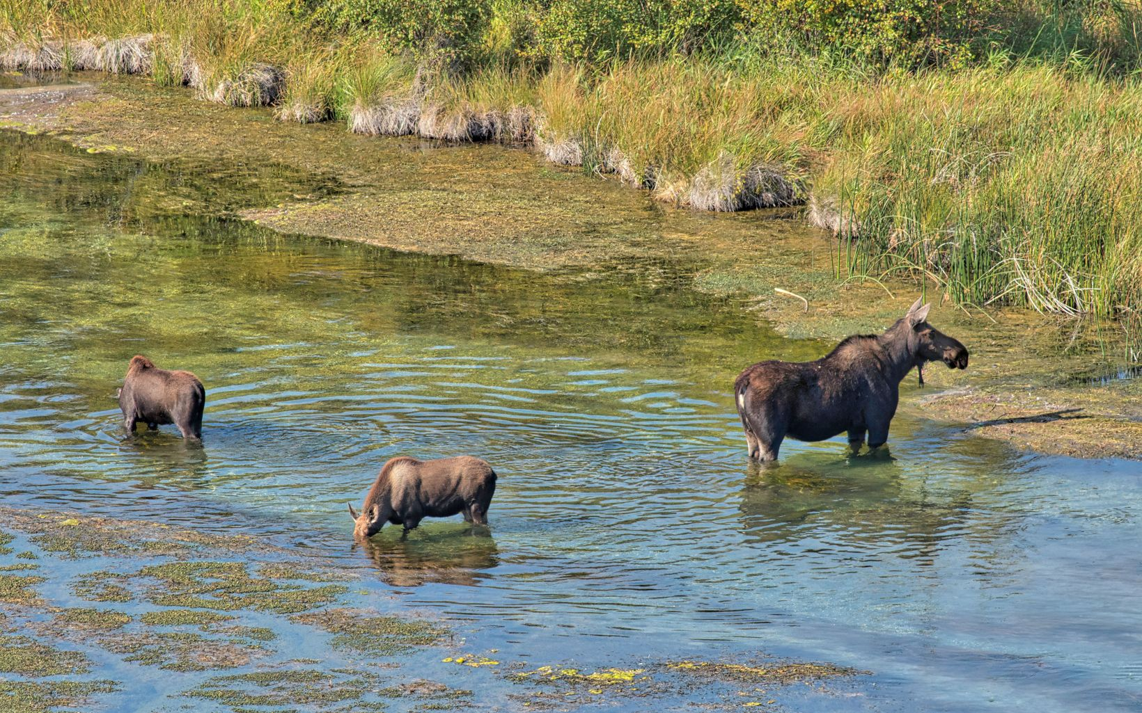One large and two smaller moose stand and feed in the creek.