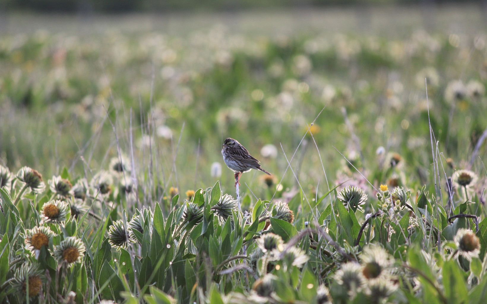 A sparrow perched in a field of yellow flowers.