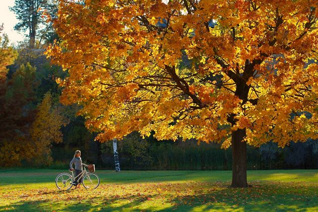 A woman walking a bicycle pauses under a large tree with yellow and orange foliage.