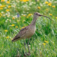 The sustainable grazing technique used at Flat Ranch provides a safe haven for long-billed curlews to nest each summer.